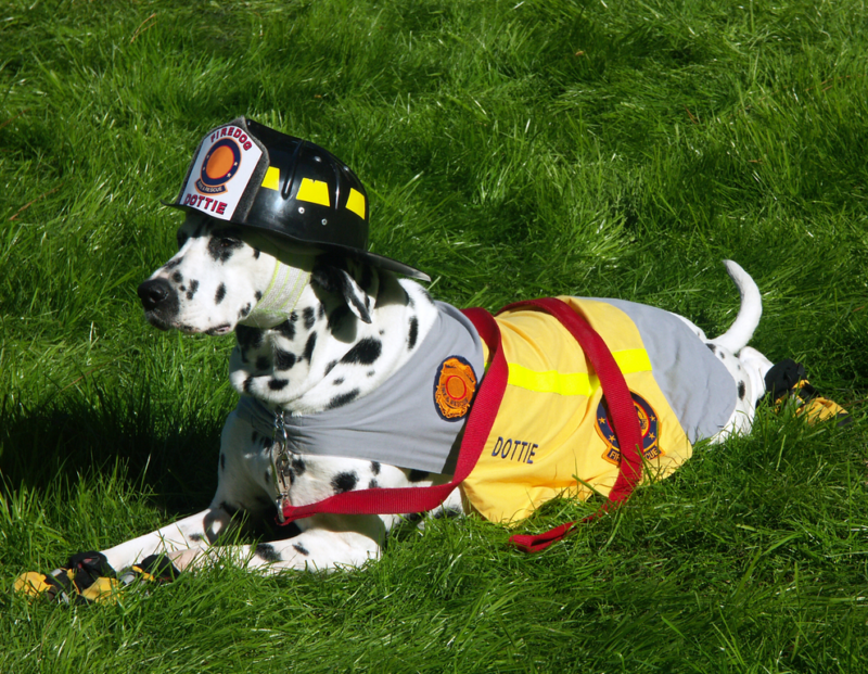 National Pet Fire Safety Day - Dalmation Wearing Firefighter Uniform